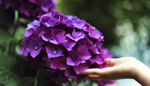 紫陽花の花言葉について徹底解説!青色、紫の紫陽花に関する豆知識