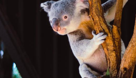 コアラの握力が1tって本当?握力が強い最強の動物5選