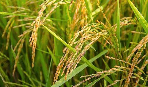 無洗米がまずいって本当?デメリットとメリットについても解説
