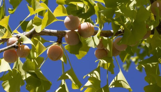 銀杏が臭い本当の理由 | 踏んだ時の対処法や匂いを抑えて食べる方法