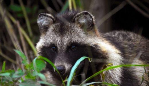 タヌキはどんなエサや食べ物を食べる?知られざるタヌキの生態とポイント